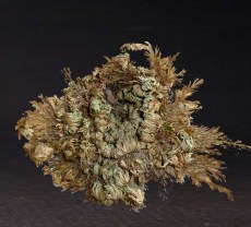 Rose of Jericho *